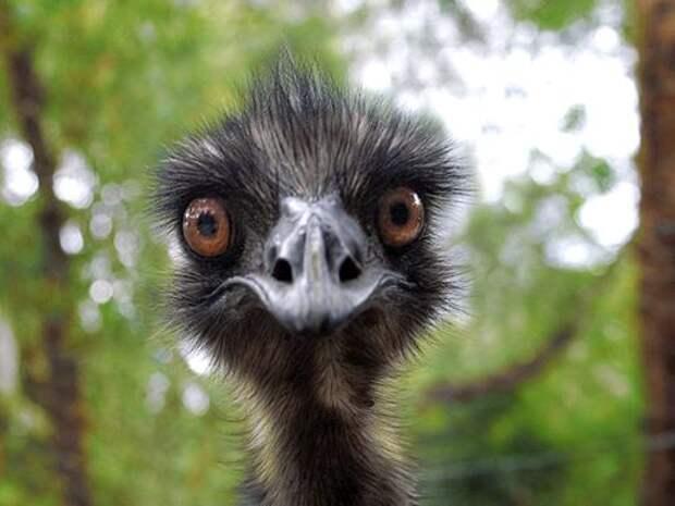 Страус-Эму-птица-Описание-и-образ-жизни-австралийского-эму-8
