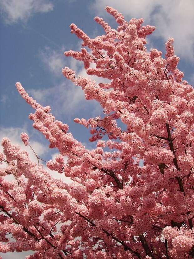 Цветение розовой сакуры. Фото