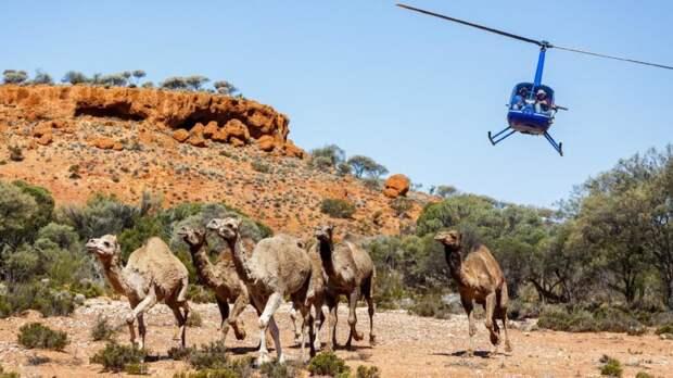 Верблюдов в Австралии больше полумиллиона, но местные жители не рады ускорению фосфорного цикла за счет кораблей пустыни. Животных в огромных количествах отстреливают с вертолетов, оставляя их туши гнить в необитаемых местах страны / ©Wikimedia Commons