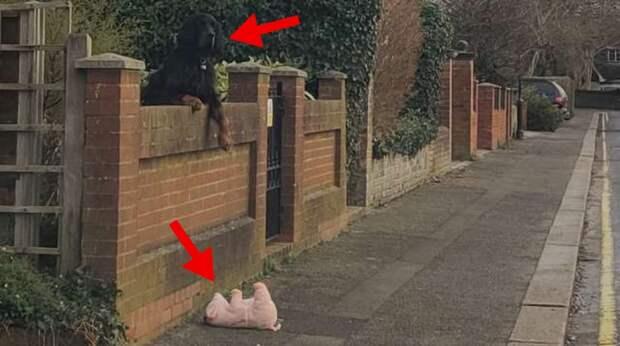 Собака случайно обронила любимую игрушку за забор. Пришлось ждать, пока кто-то ей поможет…