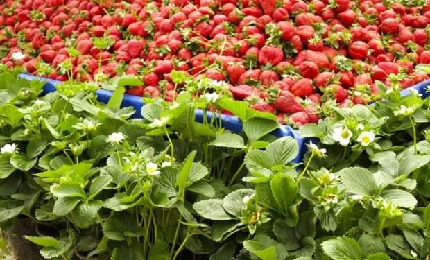 Клубника фриго – что это за рассада, как ее правильно выбирать, хранить и выращивать