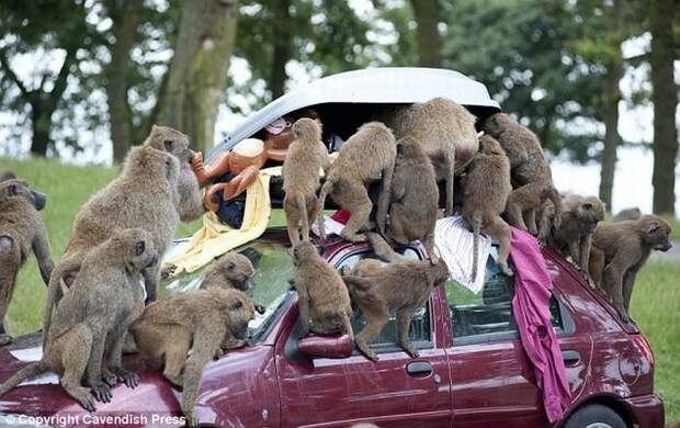 Коварные бабуины-похитители (6 фото)