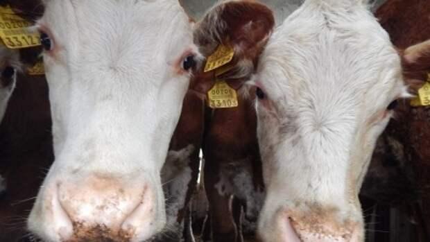 В поселке Жизнь произошла массовая гибель скота