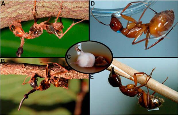 Рис. 1. Муравьи-древоточцы, убитые паразитическим грибом Ophiocordyceps unilateralis в природе (на изображениях A и B видны грибы, выросшие из затылков жертв) и в лаборатории (D, E). A, D — муравьи Camponotus castaneus, B, E — C. americanus. C — культура паразитического гриба, полученная из зараженной особи C. castaneus. Изображение из обсуждаемой статьи в BMC Evolutionary Biology