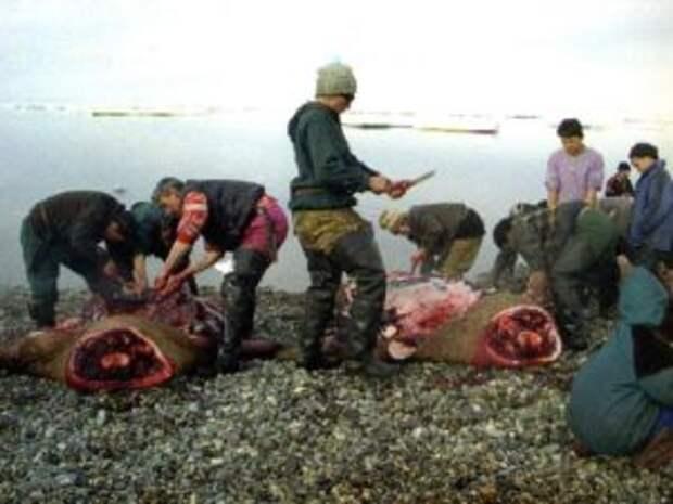 Так разделывают гренландских акул