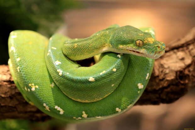 Зеленый питон (лат. Morelia viridis) 13
