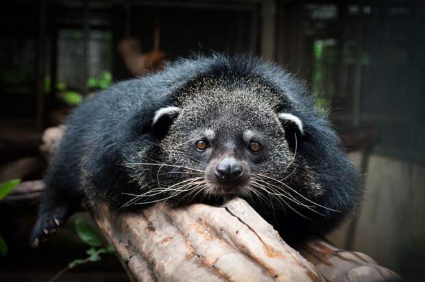 В Московском зоопарке поселился «кошачий медведь» Гула