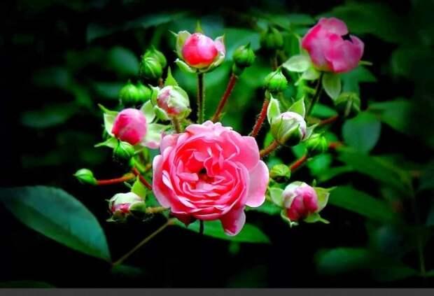 розы фото 170320 – 10