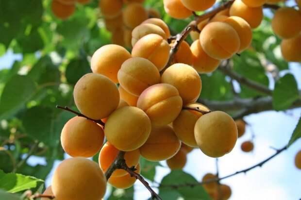 Абрикос. В этом году их было особенно много, буквально ветки ломались от плодов еда, изобилие, красиво, растения, урожай