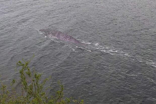 Странное существо в озере Лох-Несс сфотографировал турист