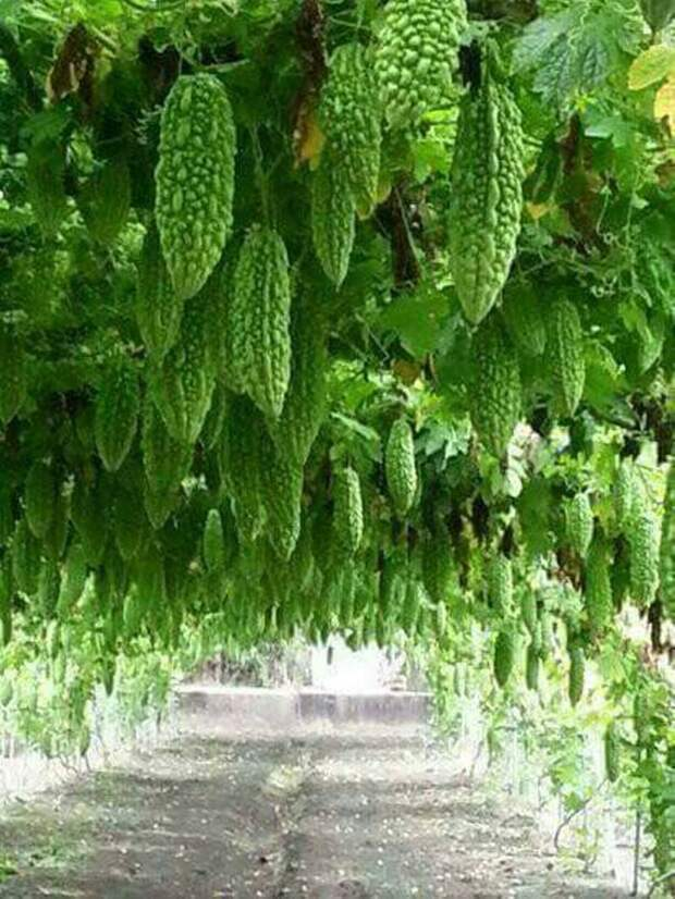 Гигантский урожай момордики еда, изобилие, красиво, растения, урожай