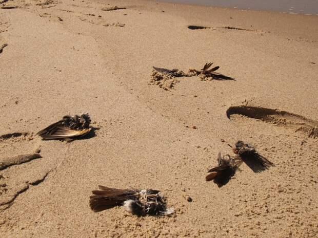 Сотни тел птиц, заблудившихся в тумане, выбросило на берег под Калининградом