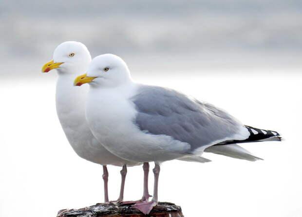 Серебристые чайки испугались человеческого взгляда