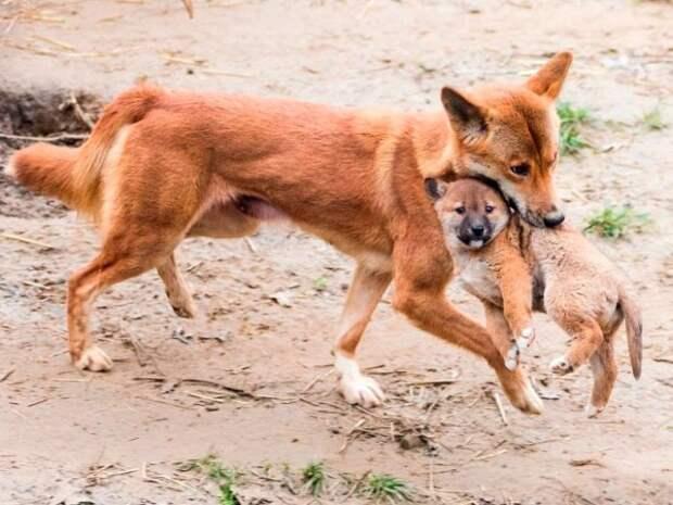 Дикие собаки из разных уголков планеты