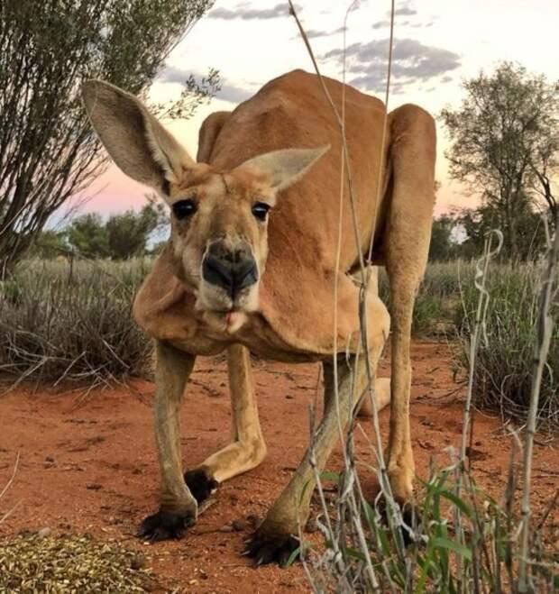 В Австралии появился король двухметровый качок-кенгуру