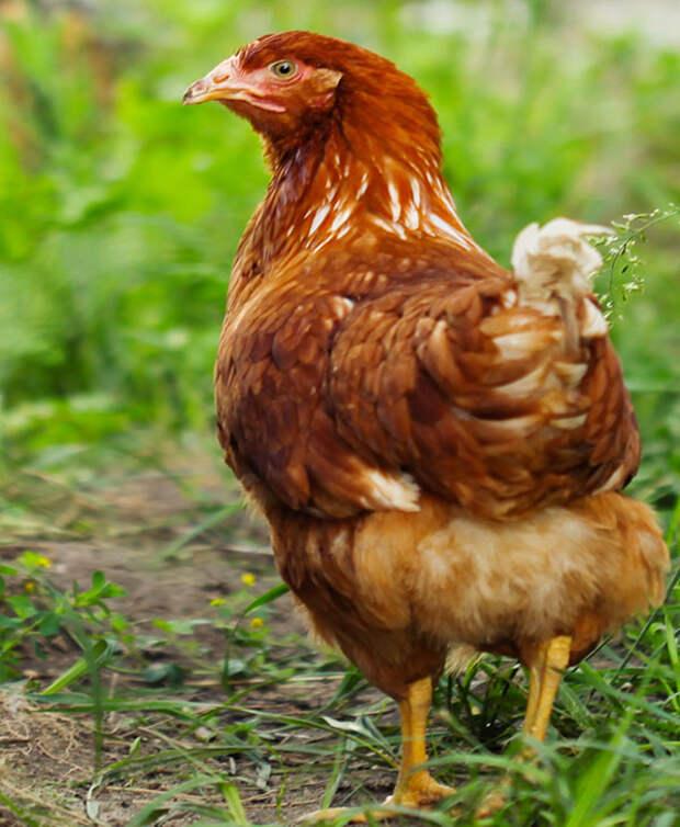 Вот зачем курица начала прятаться от фермера, тогда он заглянул в гнездо!