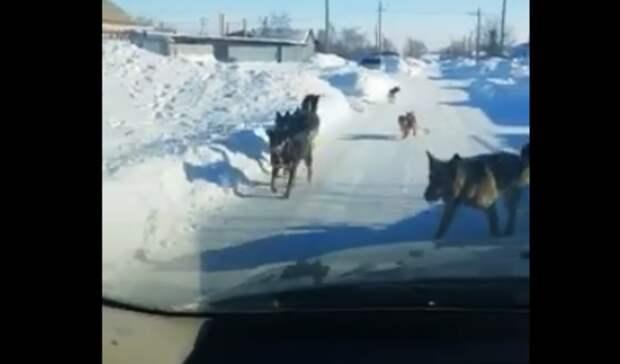 Губернатору Денису Паслеру отправили видео своры собак из села под Гаем