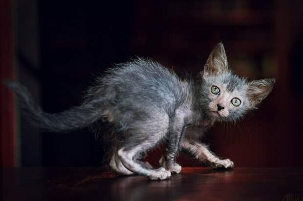 Ликой — кошки-оборотни: откуда взялись, и за что их так прозвали