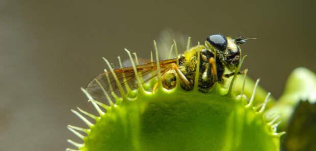 Учёные выяснили, почему некоторые растения становятся хищниками
