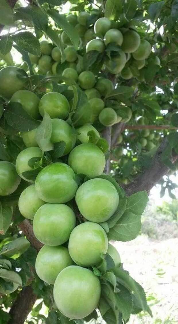 Невероятное плодовое изобилие еда, изобилие, красиво, растения, урожай