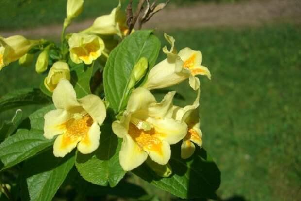 Вейгела цветёт дважды