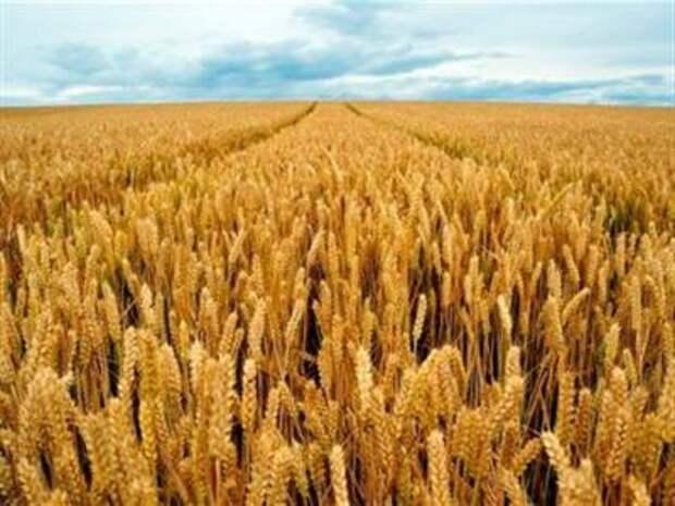 Экспортеры российской пшеницы приостановили её закупку до снижения пошлины - СМИ