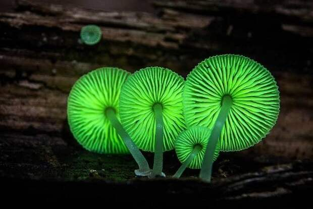 22. Вечный легкий гриб / Mycena luxaeterna грибы, факты, это интересно