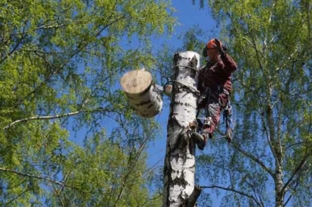 Как береза сама подскажет, что пора ее свалить на дрова