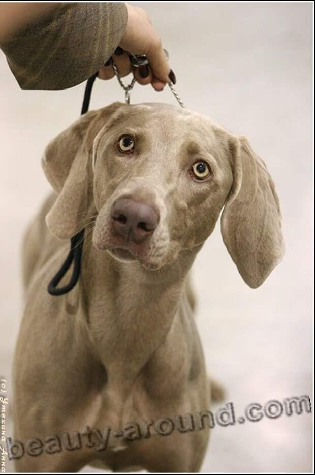 Веймаранер  (веймарская легавая) фотоографии красивых пород собак, породы собак с фотографиями