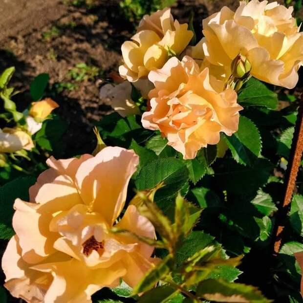 Роза Modern Sunrise