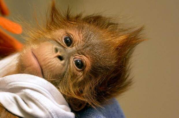 У этого маленького орангутанга умерла мать спустя неделю, после рождения малыша