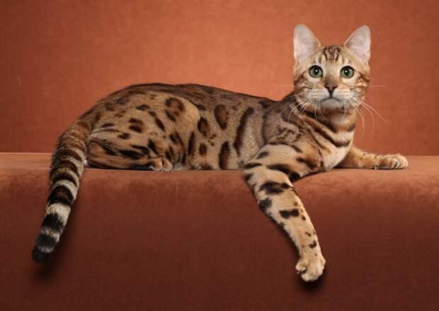 Бенгальская кошка. Фото