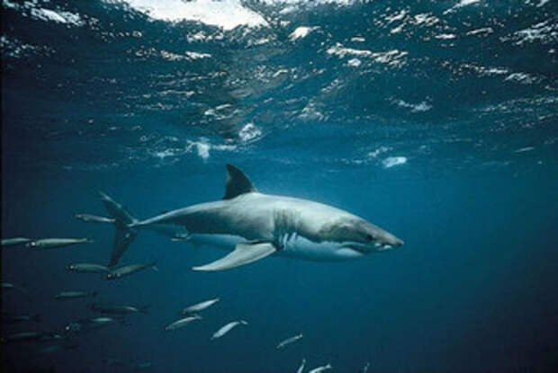 Белые акулы ежегодно собираются в группы у берегов Австралии, но непонятно зачем