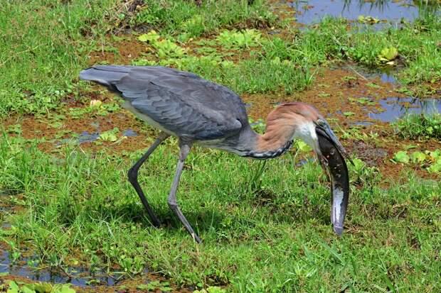 Мало еду поймать, надо её ещё заглотить! Цапли поглощают добычу целиком, поэтому, чтобы съесть своей немаленький улов, у птицы уходит очень много времени.