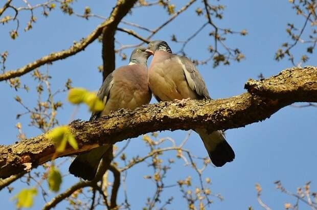 Голубь всегда готовь помочь самке в высиживании птенцов.