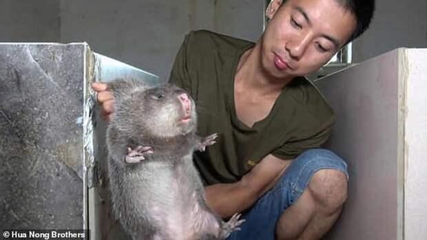 Коронавирус мог перейти людям от огромных бамбуковых крыс