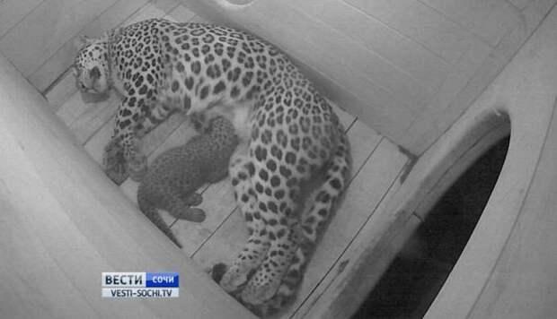 В Сочи родились еще три детеныша переднеазиатского леопарда