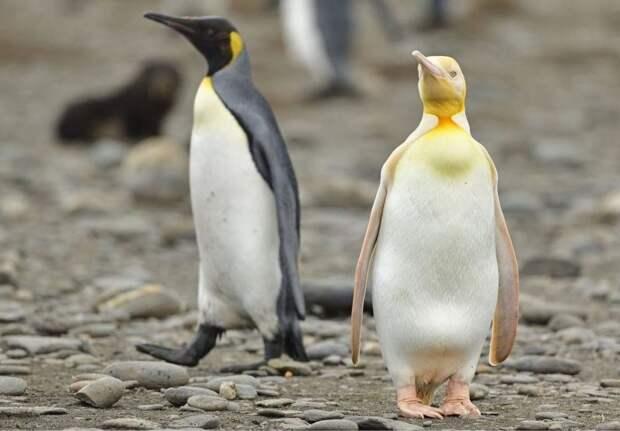 Оказывается, существует желтый пингвин: 3 редких фото птицы, которую раньше никто не видел