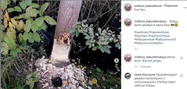 Бобры вновь взялись валить деревья в «Парке Яуза»