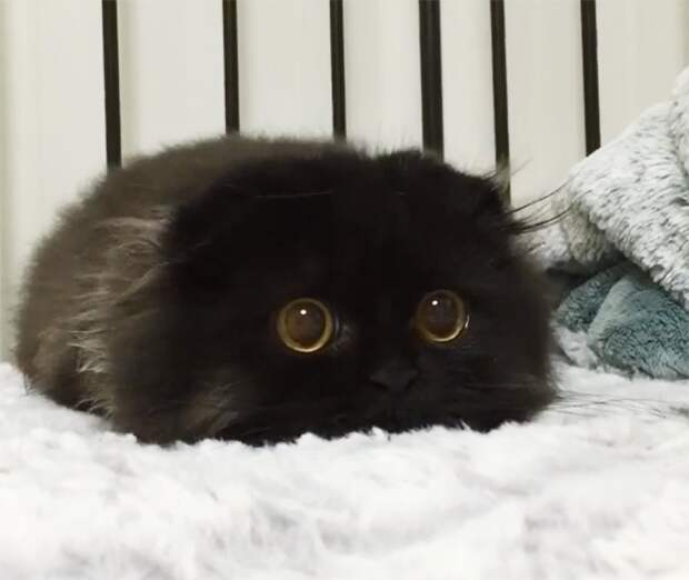 Кот с самыми большими глазами в мире. Котик Джимо растопит ваше сердце