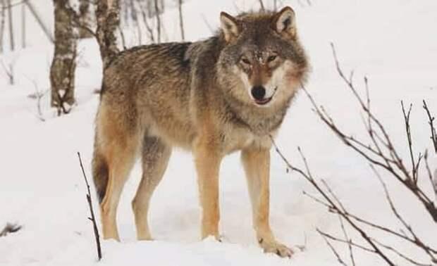 Евразийский серый волк (Canis lupus)