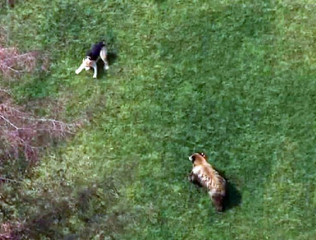Домашний щенок дал отпор медведю