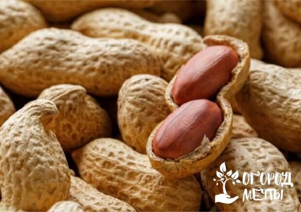 Подкормка арахисовых кустов