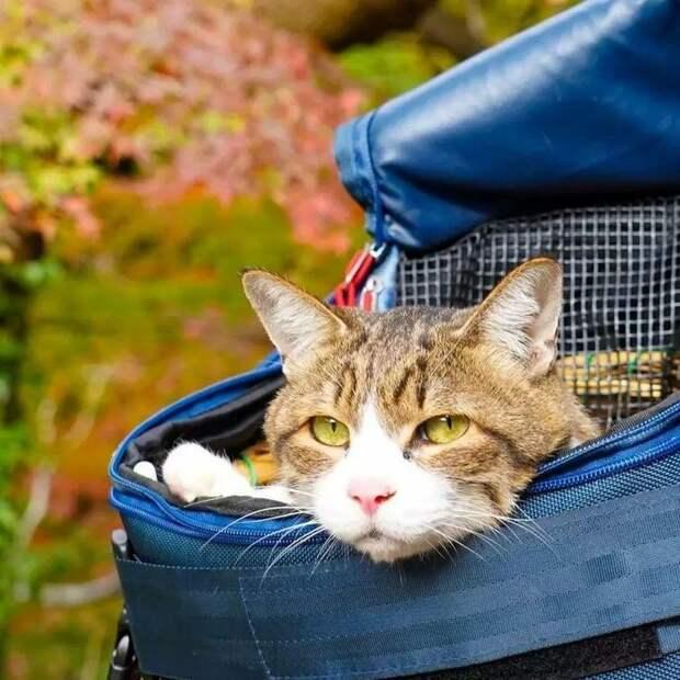 Чтобы сделать транспортировку более легкой и комфортной, Нагасава приспособил коляску для нужд своих кошек в мире, домашний питомец, животные, кошки, люди, природа, путешествие