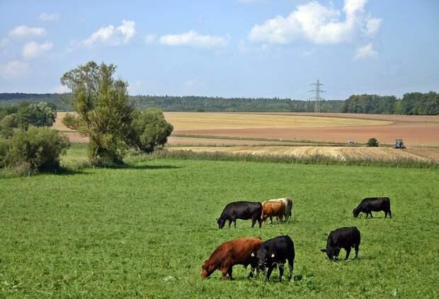 В двух деревнях Удмуртии за коровами «наблюдает» электронный пастух