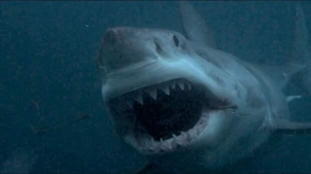 8 - Акула, проглотившая большую белую акула, животные, людоед, океан