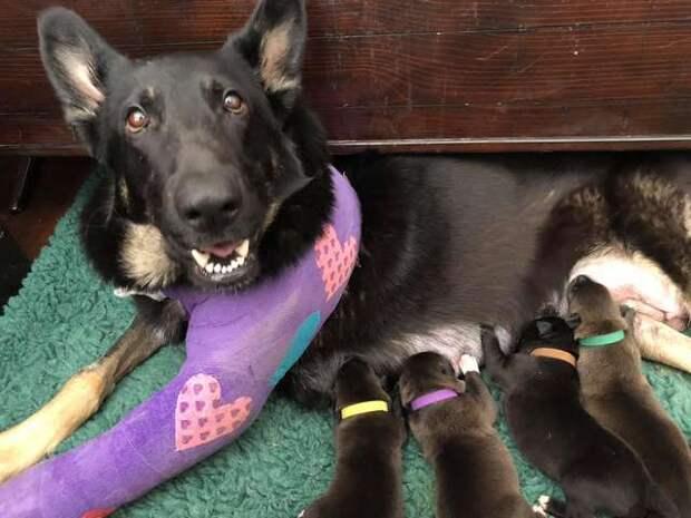 Пес привлек внимание людей к беременной овчарке