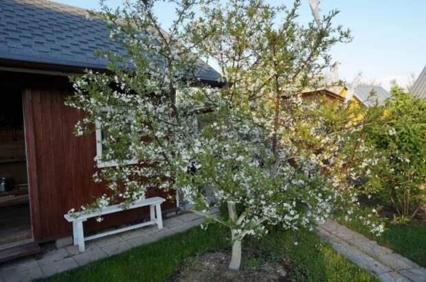 Цветение вишнёвого дерева