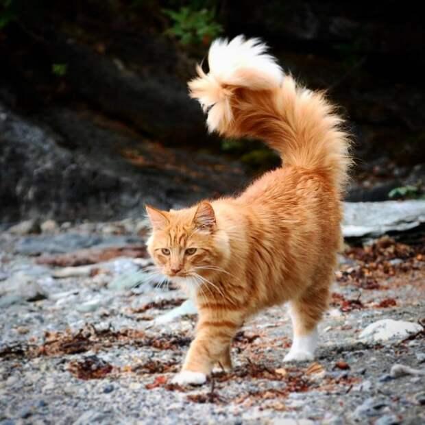 Рыжий норвежский кот с роскошным хвостом обожает гулять с людьми по дикой природе