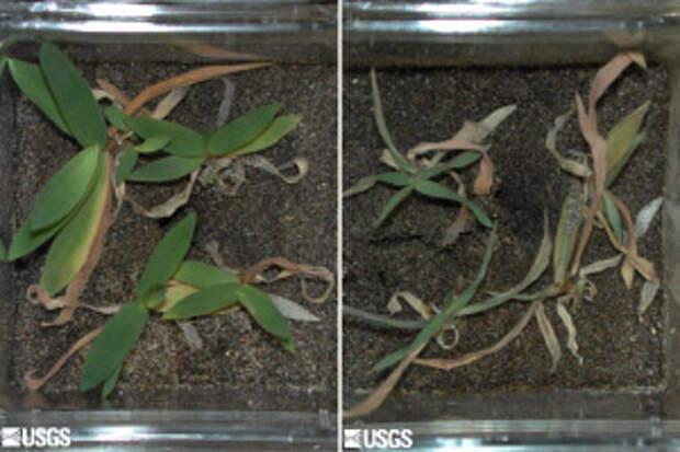 Растение Dichanthelium lanuginosum прекрасно растет на почве, нагретой до 65°C, но погибает (справа) в тех же условиях, если его лишить симбиотического гриба Curvularia protuberata (фото с сайта wfrc.usgs.gov)